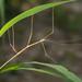 Diapheromera velii - Photo (c) Joseph C, όλα τα δικαιώματα διατηρούνται