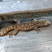 Asian House Gecko - Photo (c) Arturo Macias, all rights reserved