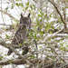 African Spotted Eagle-Owl - Photo (c) Philip Herbst, all rights reserved