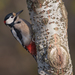Great Spotted Woodpecker - Photo (c) Paolo, all rights reserved