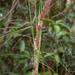 Gahnia tristis - Photo (c) mutolisp, algunos derechos reservados (CC BY)