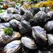 Μύδια - Photo (c) plantpro, όλα τα δικαιώματα διατηρούνται, uploaded by Addis O'Connor