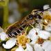 Halictus farinosus - Photo (c) Gary McDonald, todos los derechos reservados