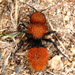 Pacific Velvet Ant - Photo (c) Gary McDonald, all rights reserved