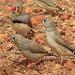 Pinzón Cebra - Photo (c) Lorraine, todos los derechos reservados, uploaded by Lorraine Harris