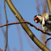 Carduelis - Photo (c) Kaylene, all rights reserved, uploaded by Kaylene Helliwell