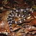 Bungarus multicinctus wanghaotingi - Photo (c) Parinya Herp Pawangkhanant, all rights reserved