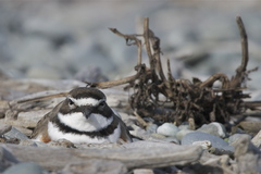 Banded Dotterel - Photo (c) Steve Attwood, all rights reserved