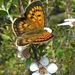 Copper Butterflies - Photo (c) 4Crewe, all rights reserved, uploaded by Stewart Armstrong