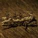 Poropterus angustatus - Photo (c) Nicholas John Fisher, all rights reserved