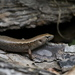 Ornate Skink - Photo (c) Steve Attwood, all rights reserved