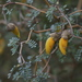 Prostrate Kowhai - Photo (c) Steve Attwood, all rights reserved