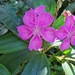 Tibouchina granulosa - Photo (c) Jiveshnee Naicker, all rights reserved