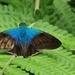 Astraptes cretatus adoba - Photo (c) Maristela Zamoner, todos los derechos reservados