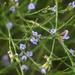 Psoralea restioides - Photo (c) Chris Whitehouse, todos los derechos reservados