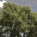 Hoheria angustifolia - Photo (c) Steve Attwood, todos los derechos reservados