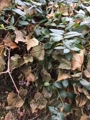 Lonicera japonica image