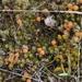 Leucopogon fraseri - Photo (c) Steve Attwood, todos los derechos reservados
