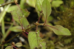 Alternanthera halimifolia image