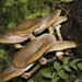 Armillaria novae-zelandiae - Photo (c) Steve Attwood, todos los derechos reservados