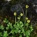 Ranunculus pygmaeus - Photo (c) Maria Haakana, όλα τα δικαιώματα διατηρούνται
