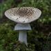 Amanita australis - Photo (c) Steve Attwood, כל הזכויות שמורות