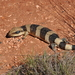 Western Blue-tongued Skink - Photo (c) Owen65, some rights reserved (CC BY-SA)