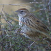 South Island Fernbird - Photo (c) Steve Attwood, all rights reserved