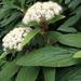 Viburnum rhytidophyllum - Photo (c) twitwer, todos os direitos reservados