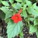 Violeta de Cupido - Photo (c) Judd Patterson, todos los derechos reservados