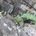 Trailing Maidenhair Fern - Photo (c) Jane Lanna, all rights reserved