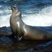 California Sea Lion - Photo (c) Jennifer Digdigan, all rights reserved