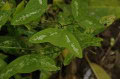 Passiflora colinvauxii image