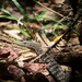 Spotted Tree Monitor - Photo (c) Trent Townsend, all rights reserved