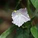 Jacquemontia paniculata - Photo (c) luyu, kaikki oikeudet pidätetään