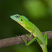 Green Crested Lizard - Photo (c) Olik, all rights reserved