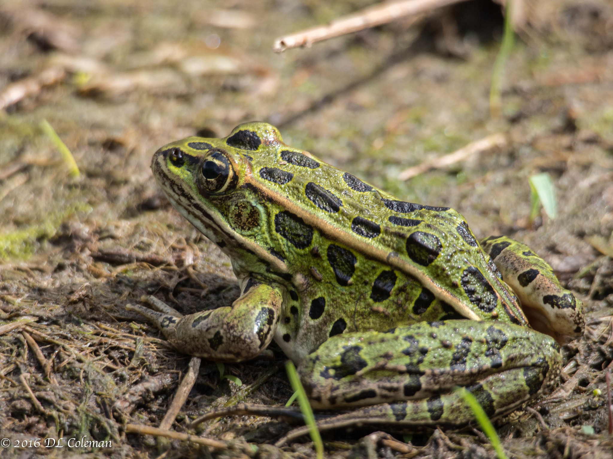 leopard frogs unlike their distant cousins prefer denser terrestrial vegetation Whiteshell provincial park is a 2,721 km 2 who was sitting in the distant right-hand corner of the their diet consists of terrestrial and aquatic vegetation.