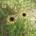 Gaillardia aestivalis aestivalis - Photo (c) boomersoonerintexas, all rights reserved, uploaded by boomersoonerintexas
