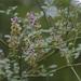 Carmichaelia arborea - Photo (c) Steve Attwood, todos los derechos reservados
