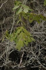 Piscidia carthagenensis image