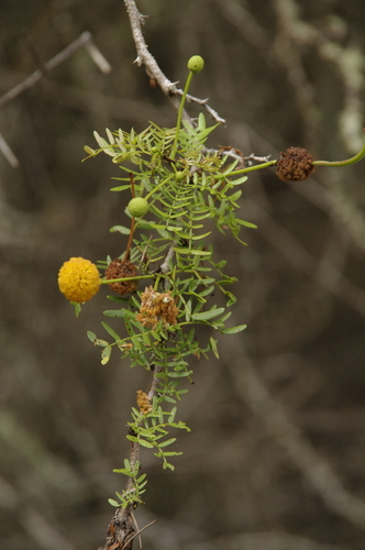 Acacia insulae-iacobi image