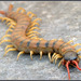Mediterranean Banded Centipede - Photo (c) Eran Finkle, some rights reserved (CC BY)