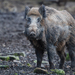 Wild Boar - Photo (c) The Wasp Factory, some rights reserved (CC BY-NC-SA)
