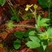 Geum macrophyllum - Photo (c) Daniel Palmer, todos los derechos reservados