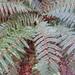 Polystichum vestitum - Photo (c) Bridgespotter, όλα τα δικαιώματα διατηρούνται