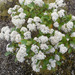 Olearia arborescens - Photo (c) 107649702289085089529, όλα τα δικαιώματα διατηρούνται, uploaded by Gillian Candler