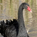 Black Swan - Photo (c) Steve Attwood, all rights reserved