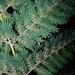 Leptopteris hymenophylloides - Photo (c) Bridgespotter, todos los derechos reservados