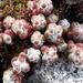 Sedum brevifolium - Photo (c) manuelagc, all rights reserved