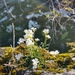 Arabidopsis lyrata - Photo (c) Michael Rider, כל הזכויות שמורות